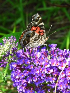 American Lady Nectaring at a Butterfly Bush Blossom