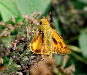 FIERY SKIPPER (dorsal side)