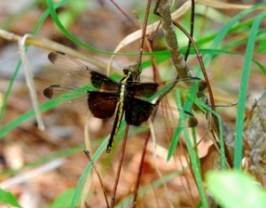 WIDOW SKIMMER (Female)