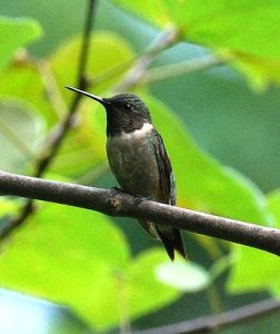 RUBY-THROATED HUMMINGBIRD (adult male w-charcoal  throat)