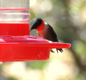 RUBY-THROATED HUMMINGBIRD (adult male)
