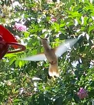 HUMMINGBIRD11