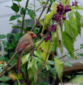 Cardinal partaking on the American Beautyberry plant