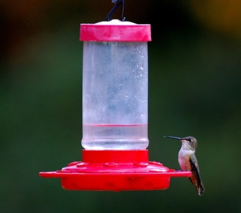 the-thanksgiving-hummingbird