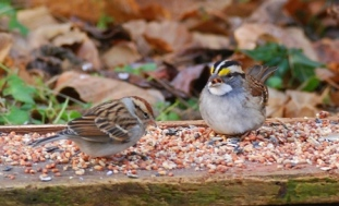 chipping-white-throated-sparrow__-at-a-feeding-table