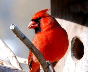 male-northern-cardinal