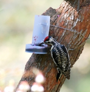 yellow-bellied-sapsucker__-feeder