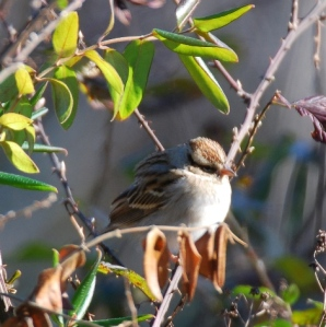 The photo is of a chipping sparrow fluffy its feathers to keep warm on a cold winter day.
