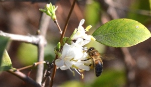 honeybee-feeding-winter__-honeysuckle