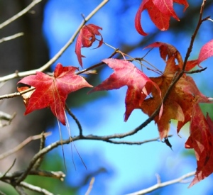 sweetgum-leaves-in-autumn-1