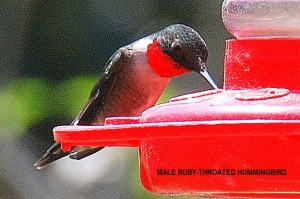 male-ruby-throated-hummingbird