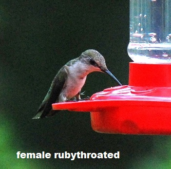 FEMALE RUBY-THROATED__ HUMMINGBIRD