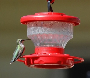 RUBYTHROAT AT FEEDER 2 - Blog - 2 August 2017
