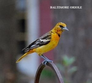 Baltimore Oriole Sightings Backyardwildlifeconnection