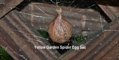 YELLOW GARDEN SPIDER EGG SAC - House - 26 Aug 2018 (1)